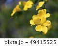 植物 山吹 クローズアップの写真 49415525