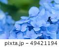 紫陽花 花 青の写真 49421194