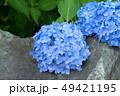 紫陽花 あじさい 花の写真 49421195