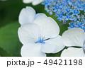 紫陽花 花 クローズアップの写真 49421198