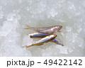 魚 釣り 雪の写真 49422142