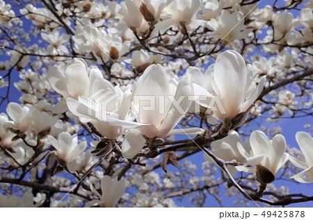 青空に咲く美しい白い木蓮の花、太陽の光がまぶしい 49425878