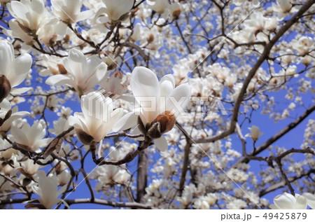青空に咲く美しい白い木蓮の花、太陽の光がまぶしい 49425879