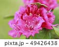 シャクナゲ 石楠花 花の写真 49426438