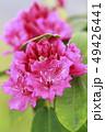 シャクナゲ 石楠花 花の写真 49426441