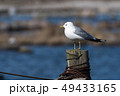 Common Gull on a wooden post 49433165