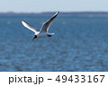 Beautiful gull in elegant flight 49433167