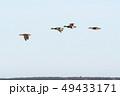 Beautiful Mallards flying in a line 49433171