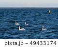Group with white swans swimming in blue water 49433174