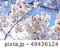 桜 ソメイヨシノ 花の写真 49436124