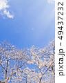 桜 染井吉野 花の写真 49437232