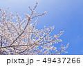 桜 染井吉野 花の写真 49437266