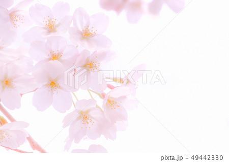 桜 49442330
