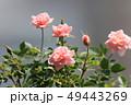 ミニバラ バラ 植物の写真 49443269