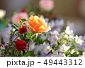 ミニバラ バラ 植物の写真 49443312