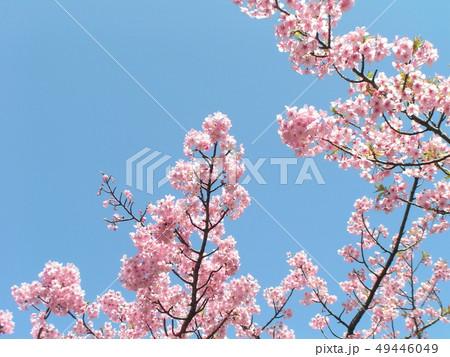 葉桜も見られる稲毛海岸駅前カワヅザクラの花 49446049