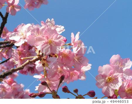 満開の稲毛海岸駅前カワヅザクラの花 49446053