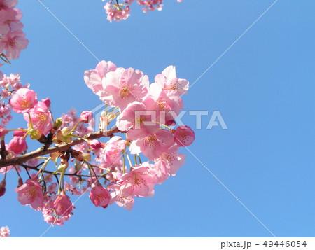 満開の稲毛海岸駅前カワヅザクラの花 49446054