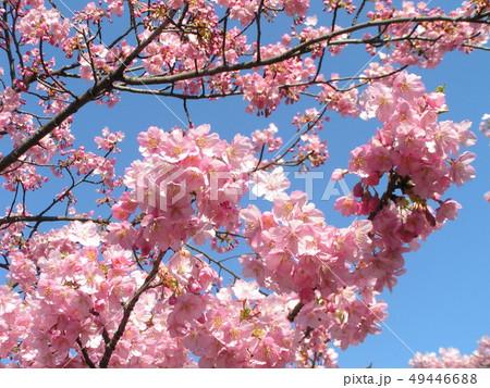 満開の稲毛海岸駅前カワヅザクラの花 49446688