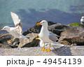かもめ 海猫 鳥の写真 49454139