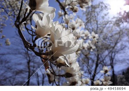 青空に咲く美しい白い木蓮の花、太陽の光がまぶしい 49458694