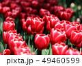 チューリップ 花 赤の写真 49460599