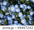 ネモフィラ 花畑 花の写真 49467242