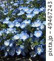 ネモフィラ 花畑 花の写真 49467243