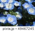 ネモフィラ 花畑 花の写真 49467245