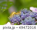 カタツムリ 紫陽花 梅雨の写真 49472016