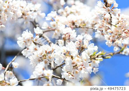 千波湖の桜 4月上旬 茨城県水戸市 49475723