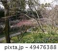 北野天満宮の梅(梅苑公開) 49476388