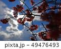 ソメイヨシノ 桜 花の写真 49476493
