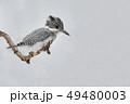 ヤマセミ 山翡翠 野鳥の写真 49480003