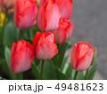 チューリップ 49481623