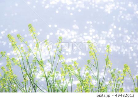 菜の花 49482012