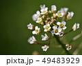 ナズナ ペンペン草 春の七草の写真 49483929