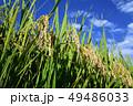 イネ 米 緑の写真 49486033