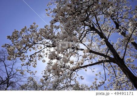 青空に咲く美しい白い木蓮の花、太陽の光がまぶしい 49491171