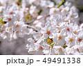桜 花 春の写真 49491338