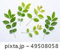 小枝 枝 葉の写真 49508058