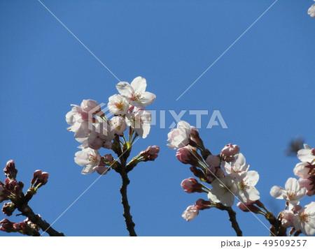 ソメイヨシノの白色のサクラの花と桃色の蕾 49509257