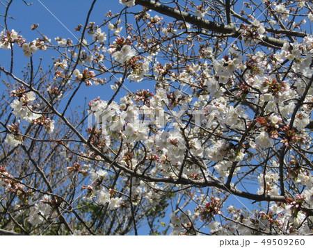 ソメイヨシノの白色のサクラの花と桃色の蕾 49509260