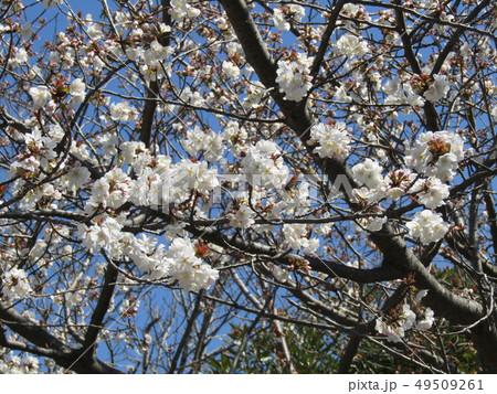 ソメイヨシノの白色のサクラの花と桃色の蕾 49509261
