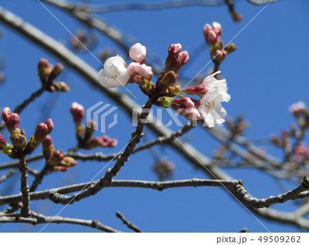 ソメイヨシノの白色のサクラの花と桃色の蕾 49509262
