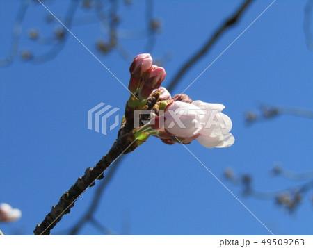 ソメイヨシノの白色のサクラの花と桃色の蕾 49509263