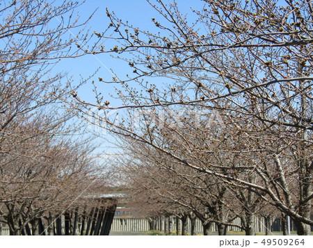 ソメイヨシノの白色のサクラの花と桃色の蕾 49509264