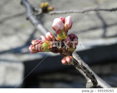 ソメイヨシノの薄桃色のサクラの蕾 49509265