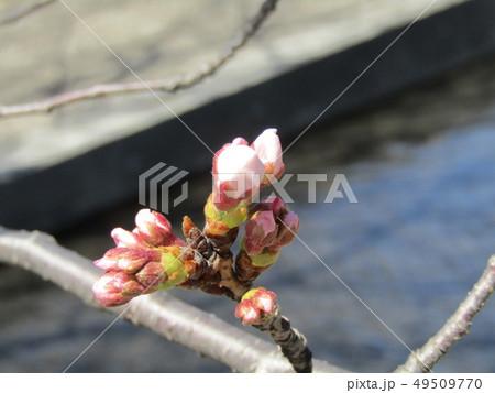 ソメイヨシノの薄桃色のサクラの蕾 49509770