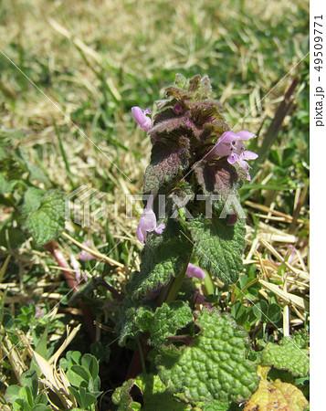 花が踊り子に見えるというヒメオドリコソウの花 49509771